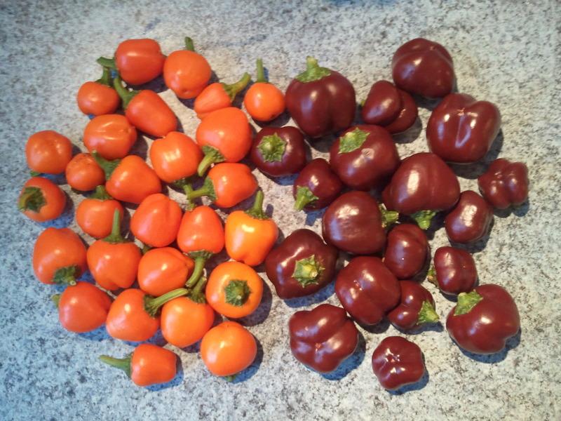 Quelle vari t de poivrons en pot sur un balcon choisir - Quelle variete de lavande choisir ...