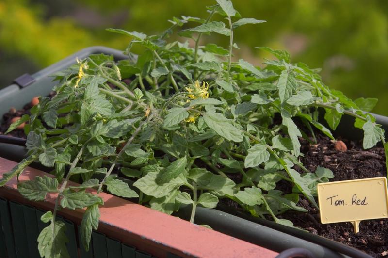 Quelle vari t de tomate en pot sur un balcon choisir - Quelle variete de lavande choisir ...