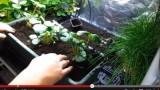 Tutoriel repiquer des fraisiers en pot